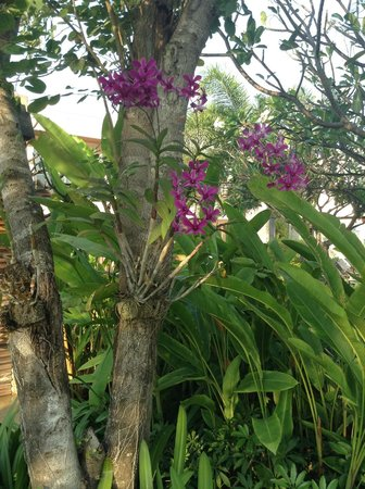 Sheraton Hua Hin Resort & Spa : Amazing orchids growing everywhere
