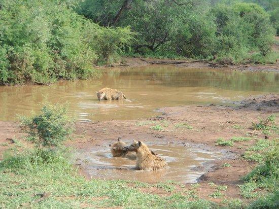 Etali Safari Lodge: Game drive: Hyenas taking a bath