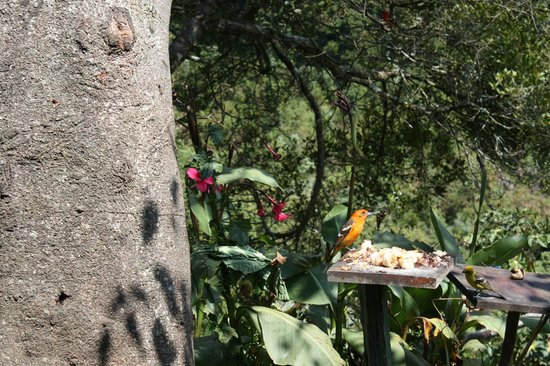 Quetzal Valley Cabins : birds at Miriam's restaurant