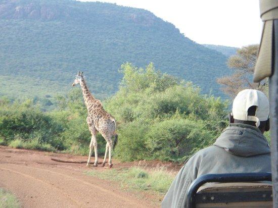 Etali Safari Lodge: Game drive: giraffe
