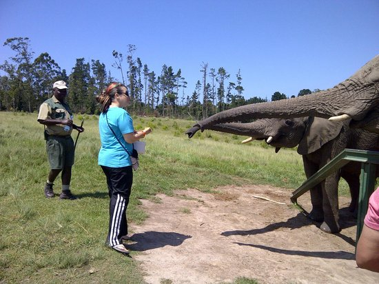 Knysna Elephant Park : Chantel trying to feed the little one