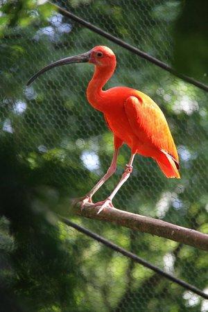 Parc de Cleres: ibis rouge (crédits photos Véronique Hénon - Dpt 76)