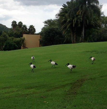 Soho Hotel: Beautiful birds in the golf course