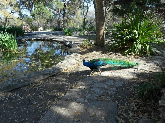Mayfield Park Cottage and Gardens : A Peacock roaming