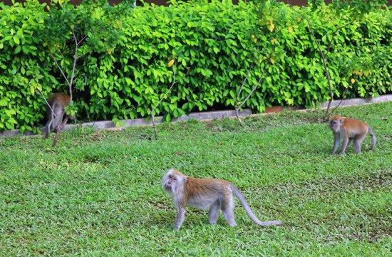 Berjaya Tioman Resort - Malaysia: обезьянки на территории отеля