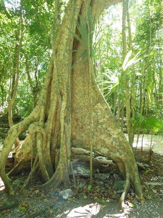 Muyil : Banyan Tree