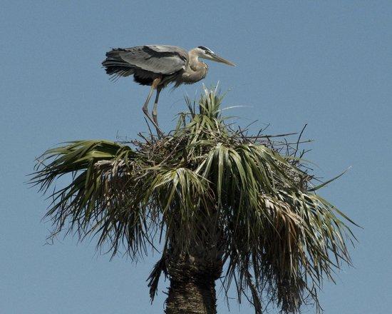 Ritch Grissom Memorial Wetlands: Blue Heron Nesting