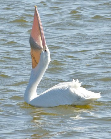 Ritch Grissom Memorial Wetlands: White Pelican swallowing a fish