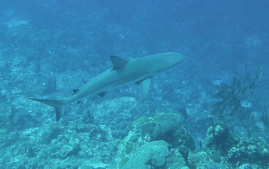 Dive Provo: Carribean Reef Shark
