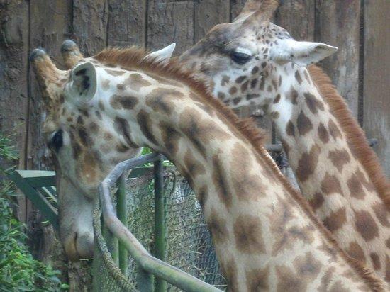 Sao Paulo Zoo : girafas