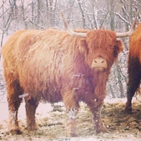 Glasbern Inn - Fogelsville / Allentown: Scottish Highland cattle