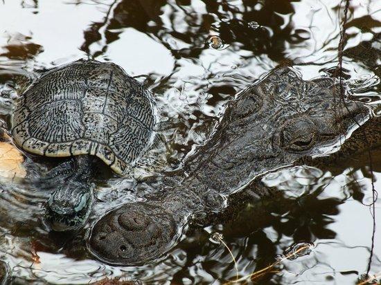 El Torreon Nursery : La tartarugona e il mega coccodrillo femmina