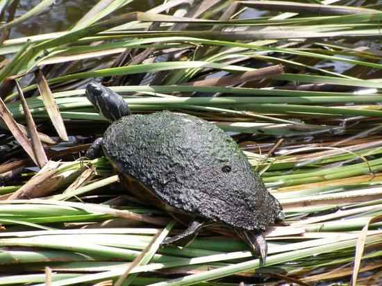 Everglades Safari Park: turtle