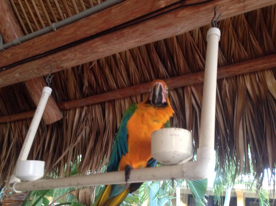 Hampton Inn Key Largo: Parrot at tiki bar