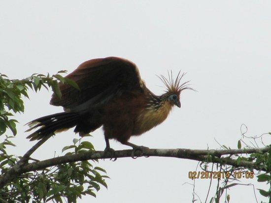 Muyuna Amazon Lodge : The pre- historic Hoatzin bird