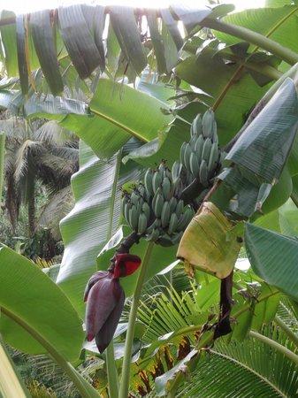 Wellesley Resort Fiji: Baby bananas on site!