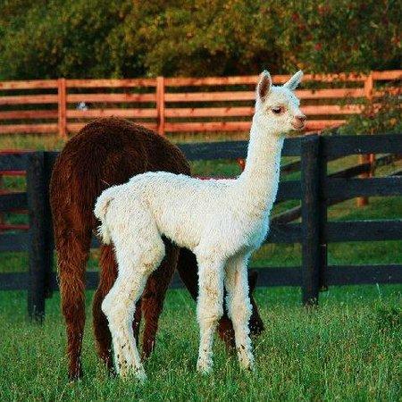 We raise Alpacas & Llamas - FUN for Everyone who visits the Farm!