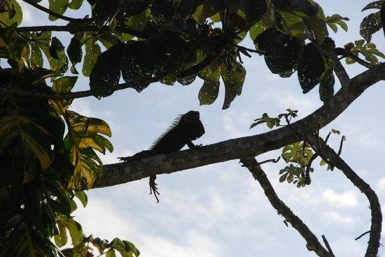 San Ignacio Resort Hotel : A wild Iguana in the trees right off the dining balcony!