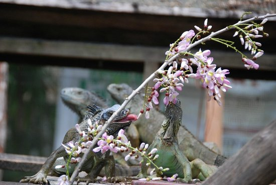 San Ignacio Resort Hotel: Iguana's we saw on the Iguana Tour ... a preservation program