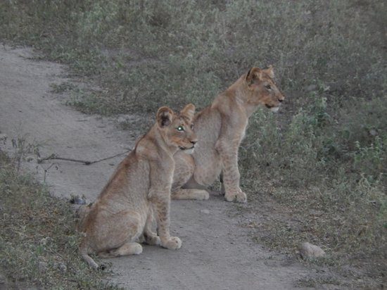Toro Yaka Bush Lodge: 8 month boy and girl lion cubs