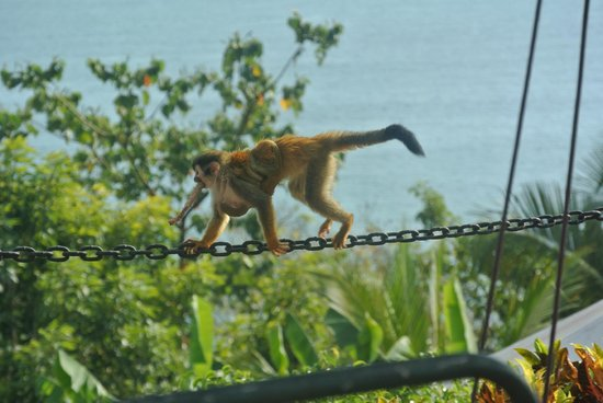 Hotel Costa Verde : monkeys everywhere - this was at the pool