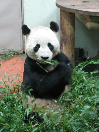 Edinburgh Zoo: Panda