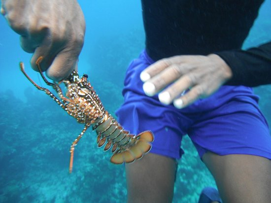 Kelly's Water Sports: baby lobster
