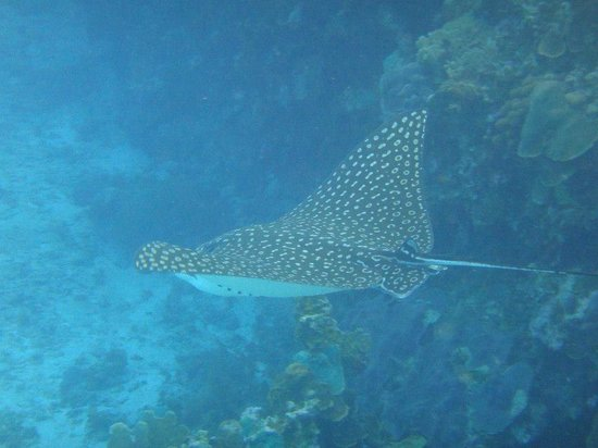 Kelly's Water Sports: beautiful spotted eagle ray