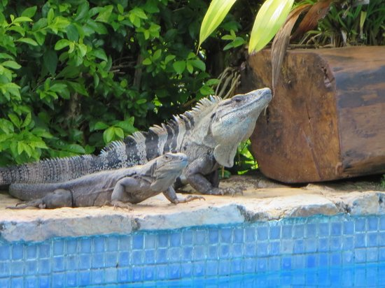 Casa Chameleon: Iguana on guard at the pool
