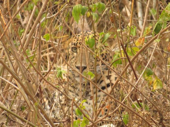 Orange County Resorts Kabini : Beautiful male Leopard