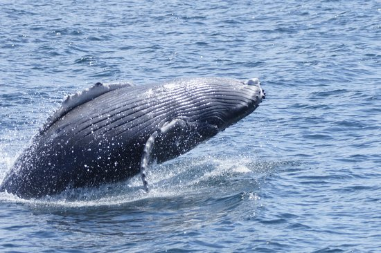 Paski's Adventure Sport Tours: Baby Whale learning to breach