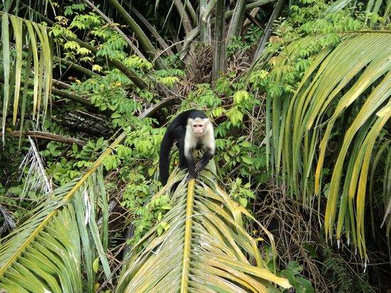 Urban Adventures Panama: One of many monkeys we saw on this tour.