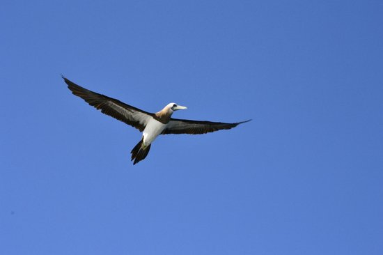 Vallarta Adventures : Yellow footed Booby