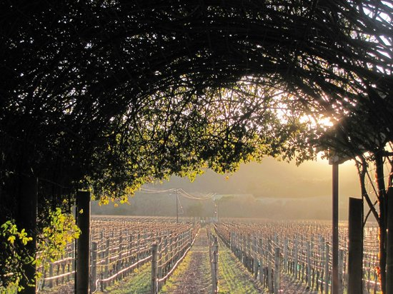 Unti Vineyards: Afternoon sun at Unti.