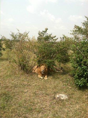 Kicheche Bush Camp: King of the Jungle from Bush ride