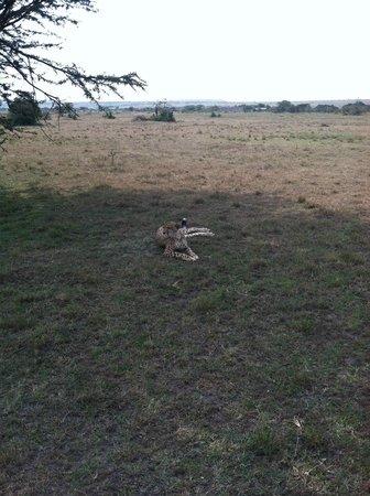 Kicheche Bush Camp: Narasha the Pregnant Cheetah from Bush ride