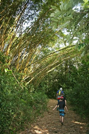 Tree Houses Hotel Costa Rica: Huge Bamboo trees on the trail to the river