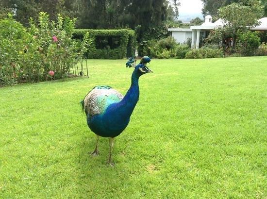 La Mirage Garden Hotel & Spa: La Mirage pavos reales