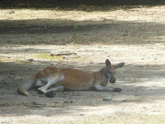 Chehaw Park: lazy kangaroo