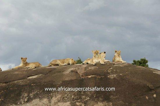 Super Cats Tours and Travel - Private Day Tours : Masai mara kenya wildlife safari holiday.