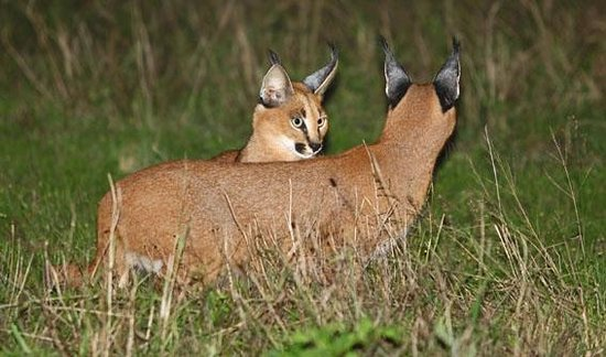 Kariega Game Reserve - Ukhozi Lodge : Caracals can be seen, especially on night drives