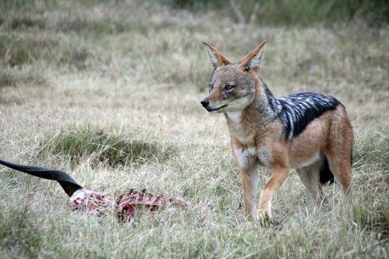 Kariega Game Reserve - Ukhozi Lodge : Black-backed jackals can be seen on the reserve
