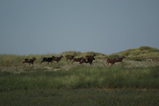 Espaces Equestres Henson : les mouflons du Marquenterre
