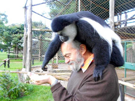 Fairmont Mount Kenya Safari Club: un colobus sulla testa!