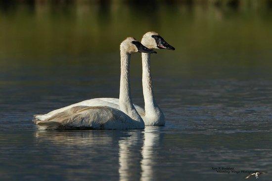 Elk Lake Resort : Trumpeter Swan Pair Red Rock Lakes NWR