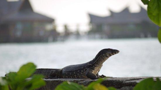 Scuba Junkie Mabul Beach Resort: Monitor lizzard in front of Sipadan Water Village