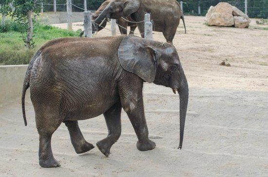Friguia Park: African Elephant