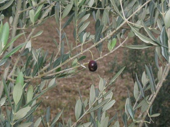 Casa Rossa Ai Colli : An olive!