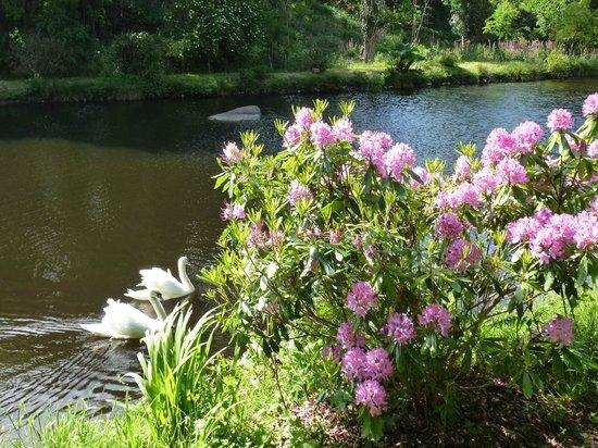Auberge de Bel Air : les cygnes sur l'étang