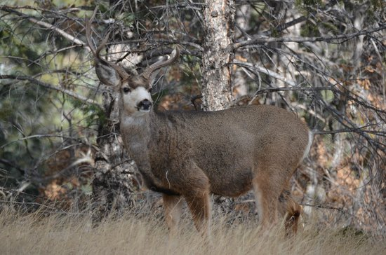 United States Air Force Academy: Mule deer at AFA